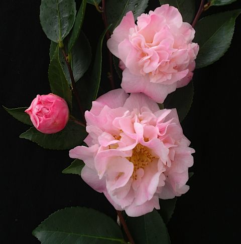 Poyntons Nursery And Garden Centre Plants Camellias Schaduwtuin