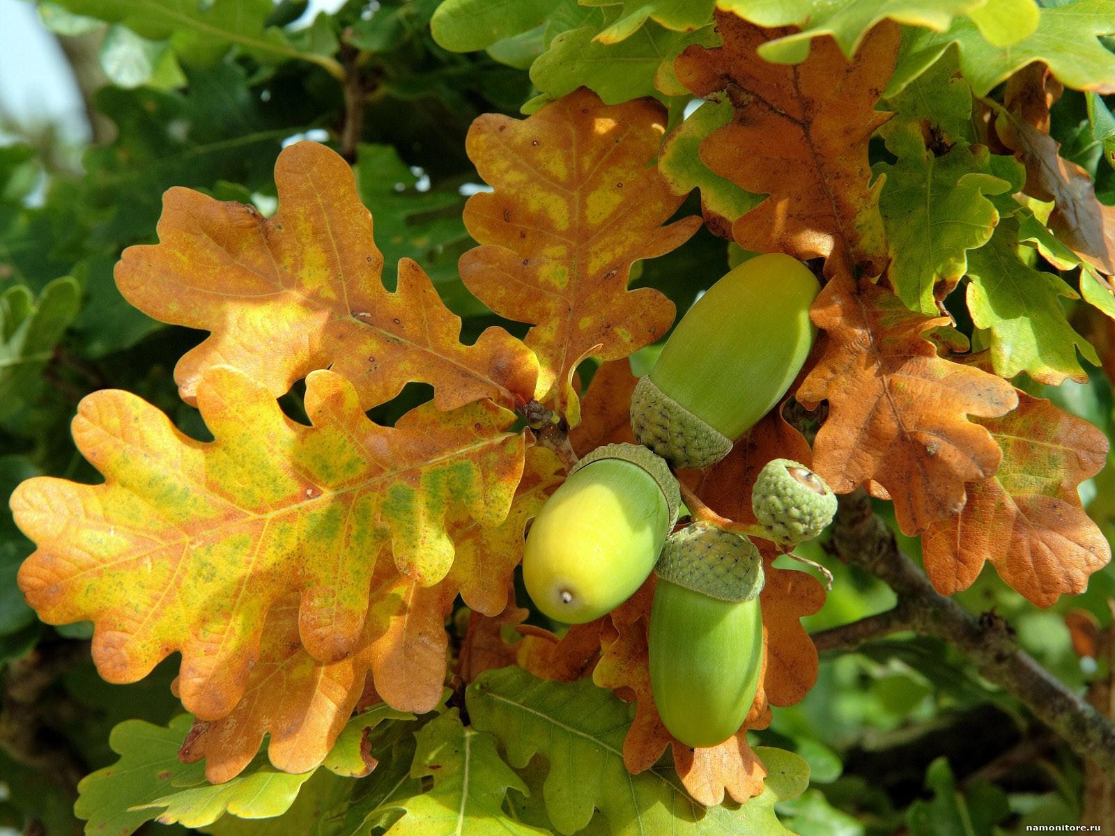 лист дуба осенью фото