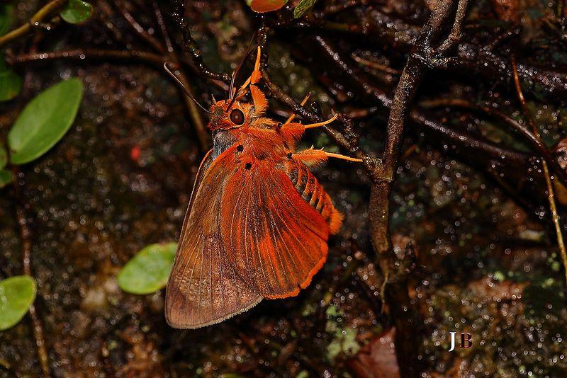 Bibasis oedipodea