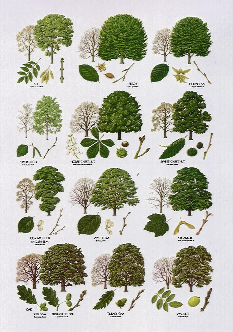 Native trees broad leaved pinteres for Garden trees types