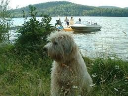 Image result for soft coated wheaten terrier