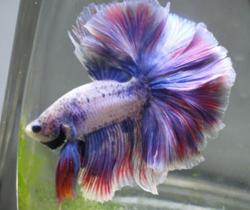 Live tropical fish grizzle rosetail halfmoon betta s5 for How much is a beta fish