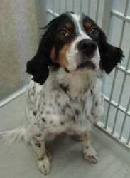 Poppy Is An Adoptable Setter Dog In Willmar Mn English Setter Mix Female 6 Years Old 30lbs Poppy Has Been Spayed Heartworm Te Dogs Dogs Dogs