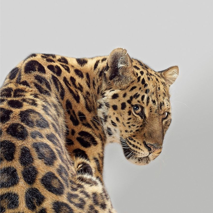 These Portraits Of Big Cats Reveal They All Have Different