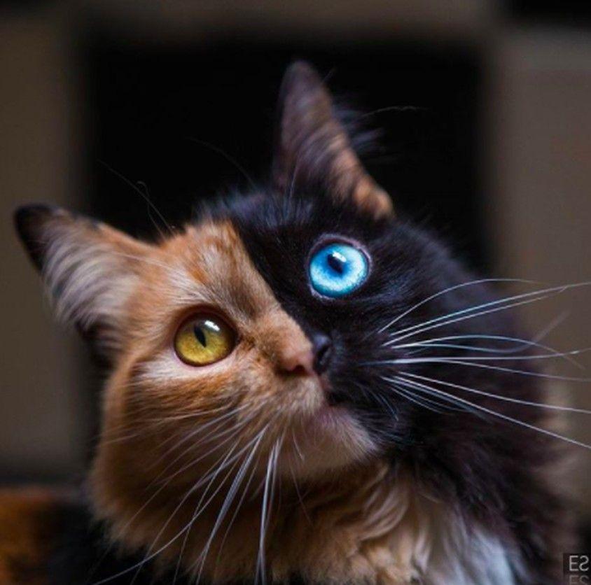 8枚目の画像 | 複数種の動物が混ざり合う架空の生き物「キメラ」のようだと話題のサビ猫、ヴィーナス。ただ珍しい模様というだけでなく、オッドアイの片目が青色というところからも、「キメラ遺伝子」を持つのではと言われている。
