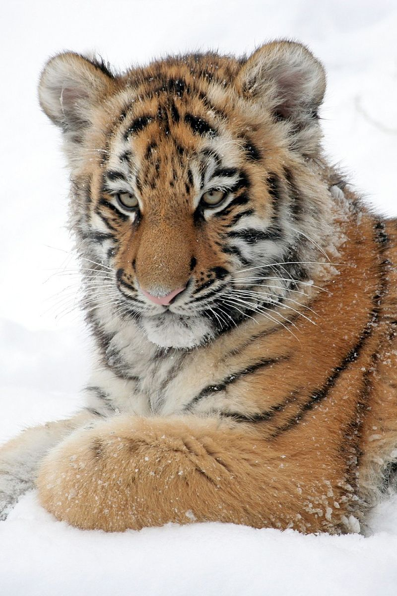 Enjoy 12 pictures with amazing tigers in 2020 (With images