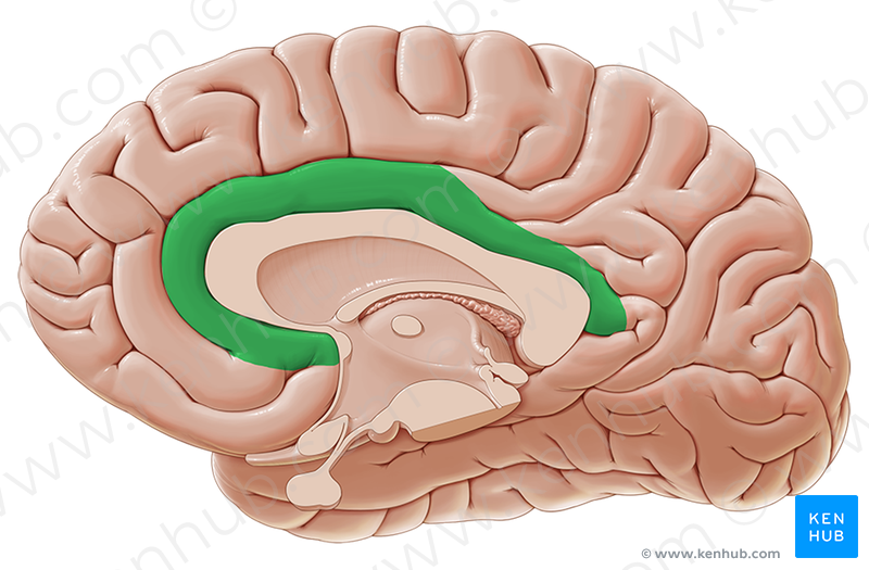 Cingulate gyrus (поясная извилина); Image: Paul Kim | Brain.Medial ...