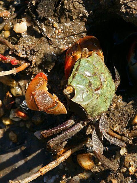 Red Fingered Marsh Crab Sesarma Erythrodactyla Crab Life Under The Sea Animals