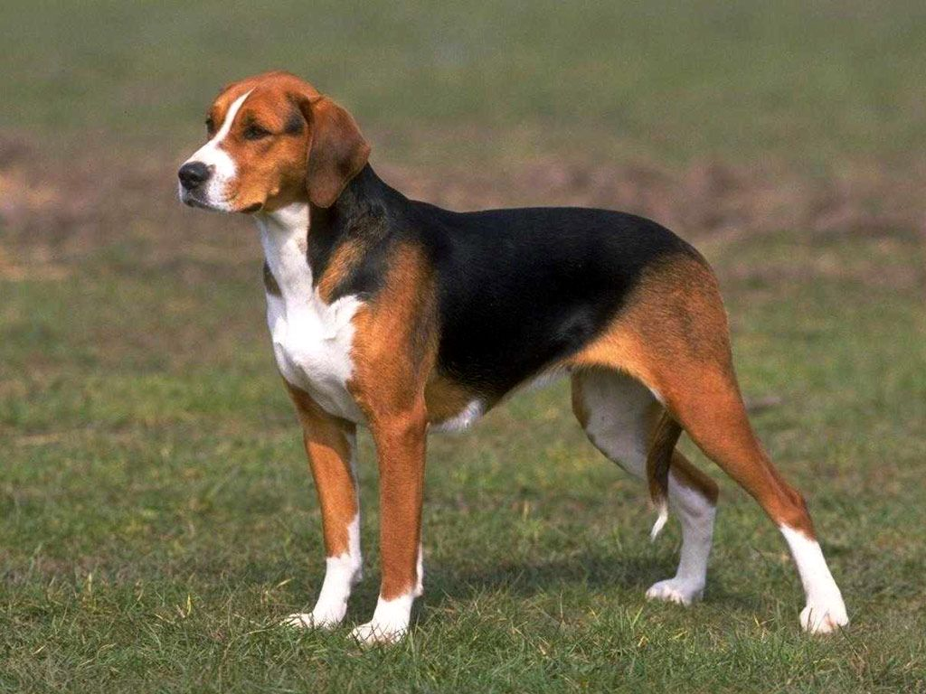 8 Different Types Of Beagles You Should To Know Dog Breeds