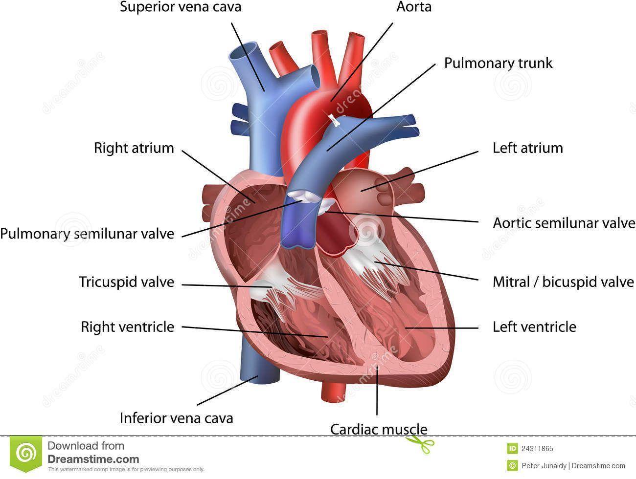Famoso Partes De Un Corazón Humano Imagen - Anatomía de Las ...