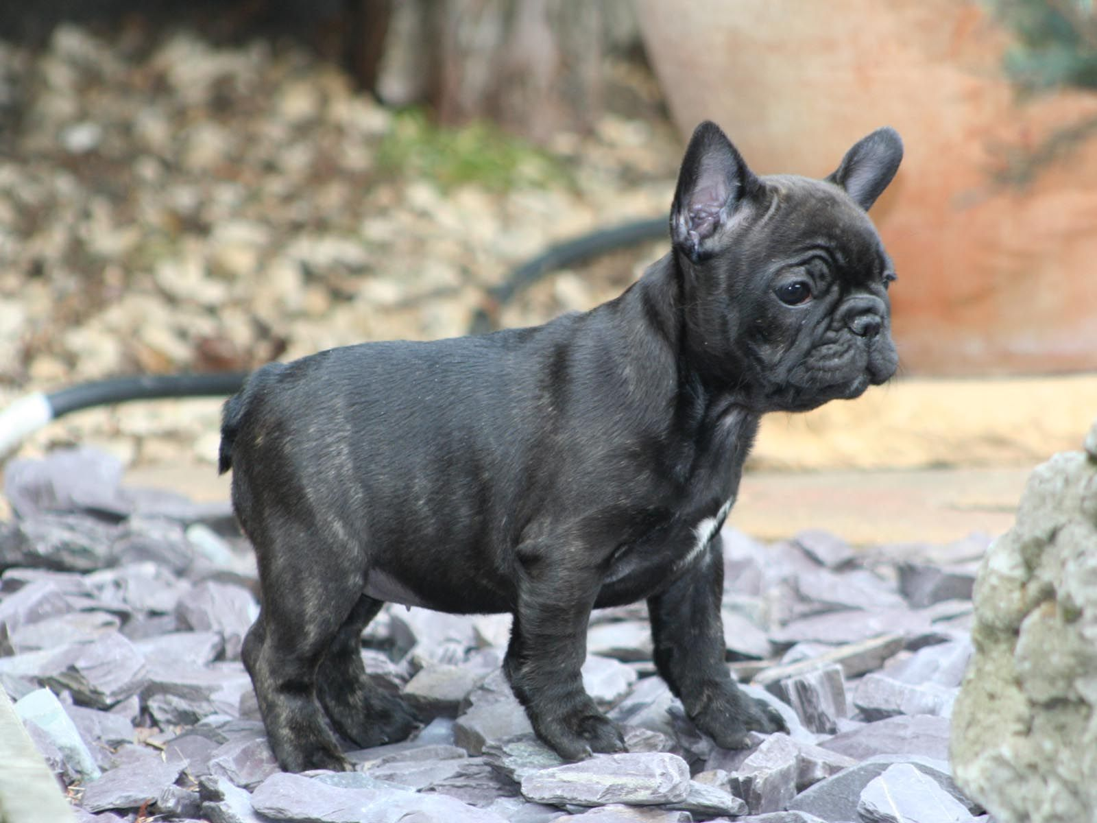 Black French Bulldog Cute Black French Bulldog Puppy Wallpaper