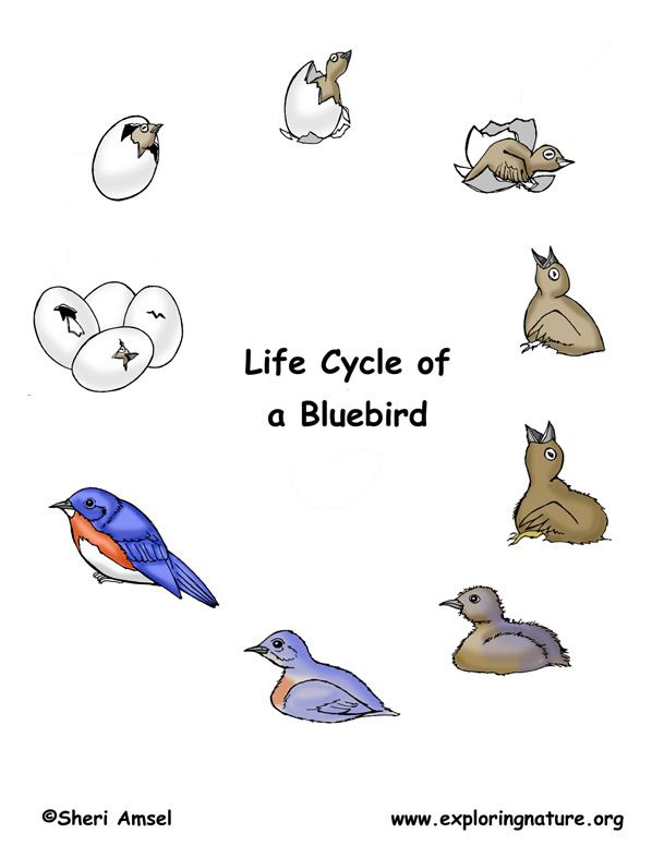 Lifecycle of a bluebird http://www.exploringnature.org/db/detail.php ...