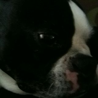 Sweet Boston Terriers are not terrors at all...
