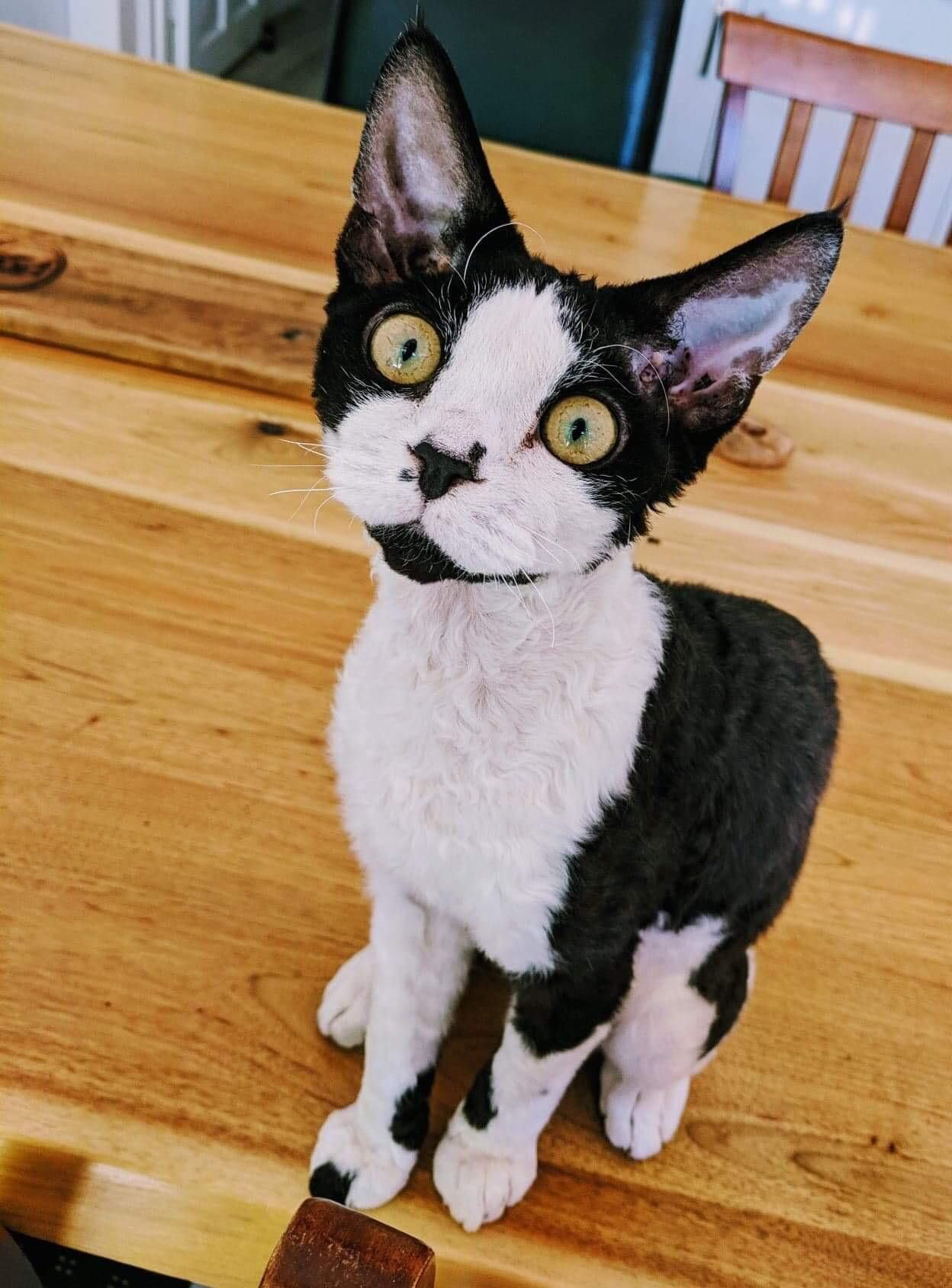 Reddit Say Hello To Fergus An Overtly Cheeky Devon Rex 9 Months Https Ift Tt 2psveem Devon Rex Cats Devon Rex Kittens Devon Rex