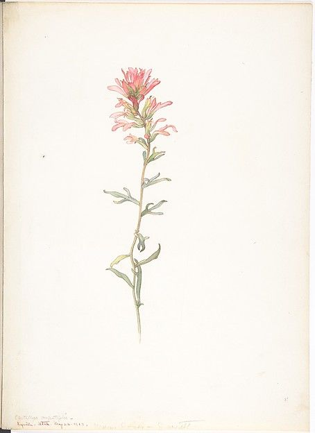 Margaret Neilson Armstrong Northwest Indian Paintbrush