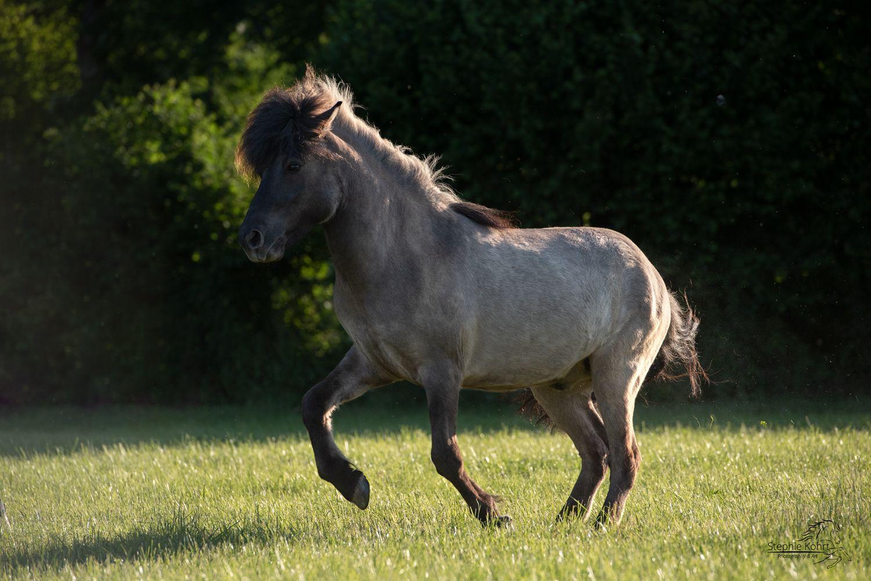 im spiel - isländer fotografiestephie kohrt   pferde