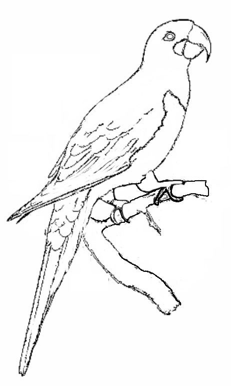 oil pastel coloring pages | Image result for hyacinth macaw line | Moose art, Animals, Art