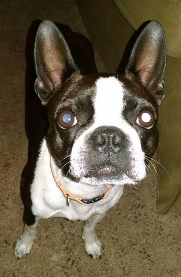 Found Dog Boston Terrier In Warner Robins Ga Pet Name Unknown
