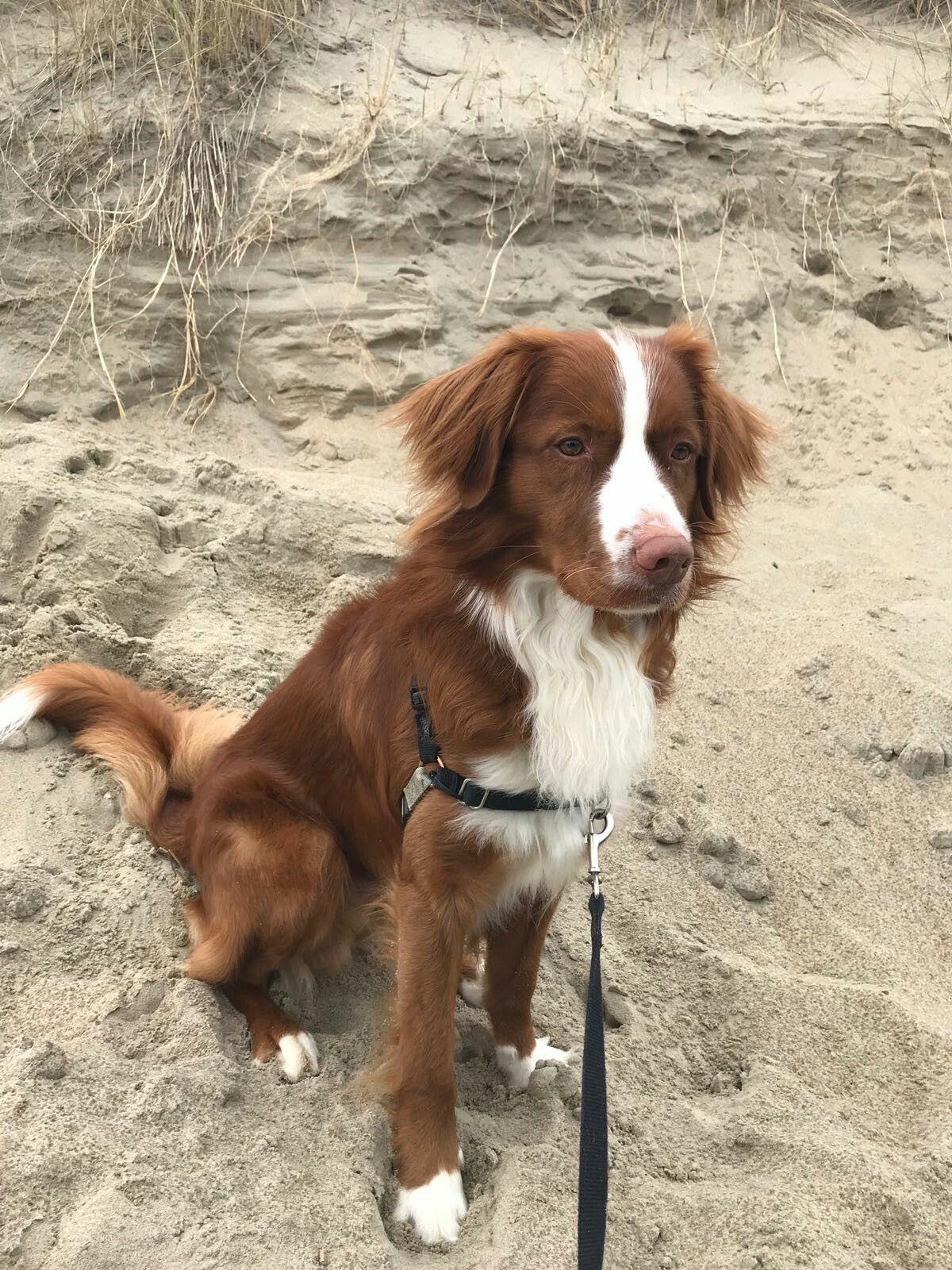 Kenzo Ons The Beach Nova Scotia Duck Tolling Retriever Dog
