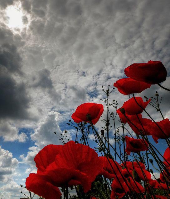 Poppies!!