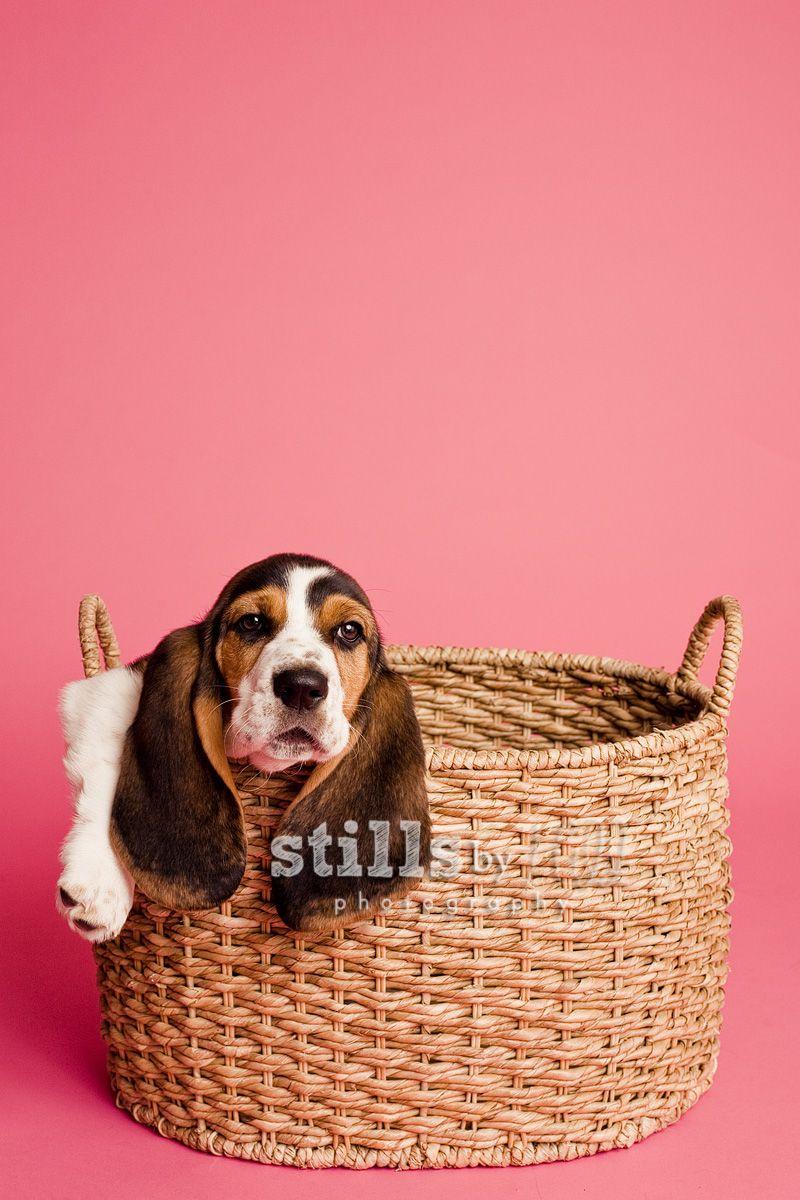 Lulu Makes Her Debut San Diego Dog Photographer Dog Photography Studio Dog Photoshoot Dog Photograph