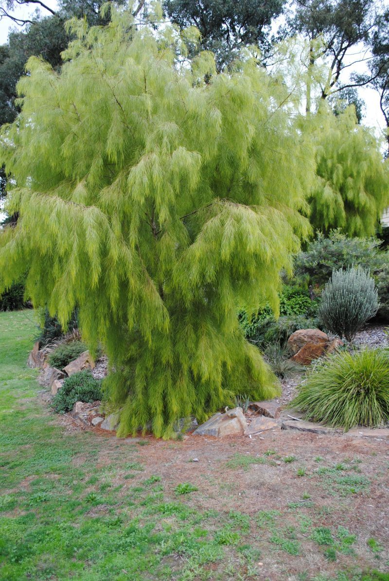 Acacia Cognata Lime Magik Google Search Tree At Front Garden