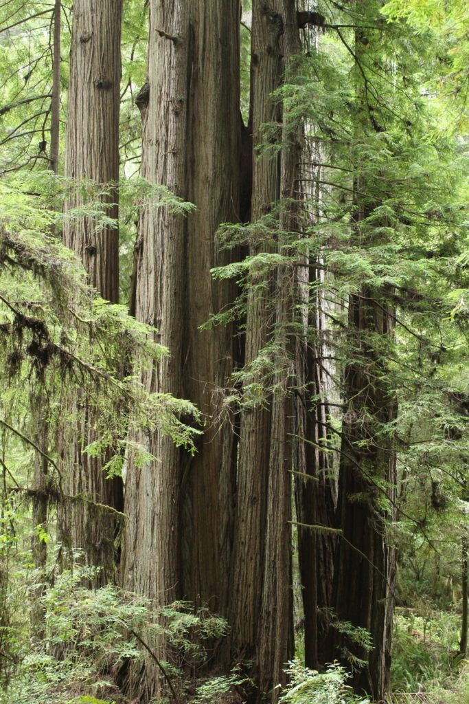An afternoon in redwood forest Feeling Small