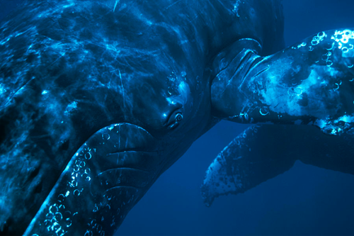 humpbacks in hawaiian waters photographed by flip nicklen for whale trust maui