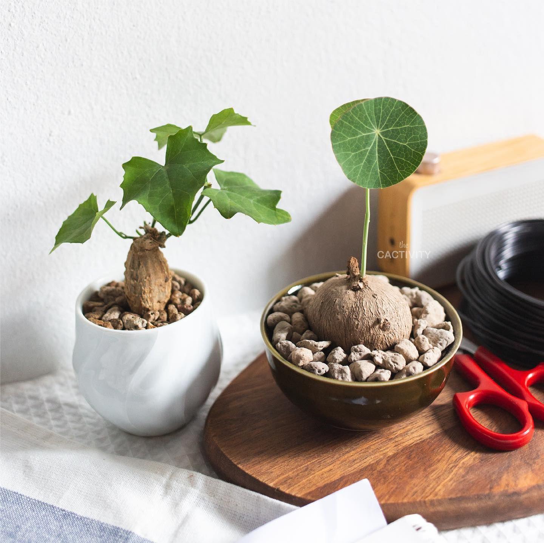 Euphorbia maritae 4cm,Caudex,Ariocarpus,Bulb