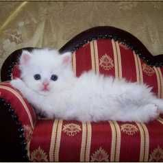 Tutti i gatti amano un divano imbottito. (Teocrito)