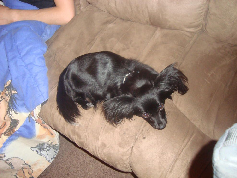 Papillon Dog Here Are Photos Of Benson S Mum Pipi Black And