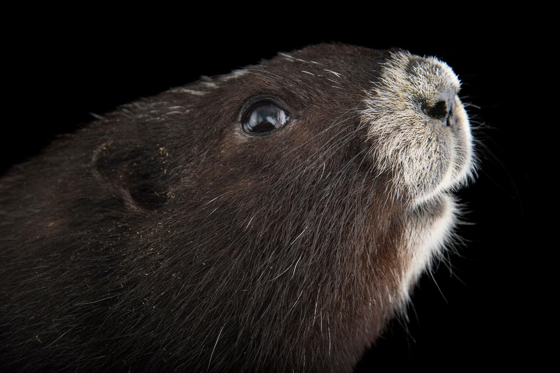 How Canada's Most Endangered Mammal Was Saved Mammals