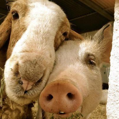 Look, I'm not accusing Gus and Gertie of taking my new phone, but we did find it in the barn with some fairly incriminating evidence. Just sayin'.  ~~ Houston Foodlovers Book Club