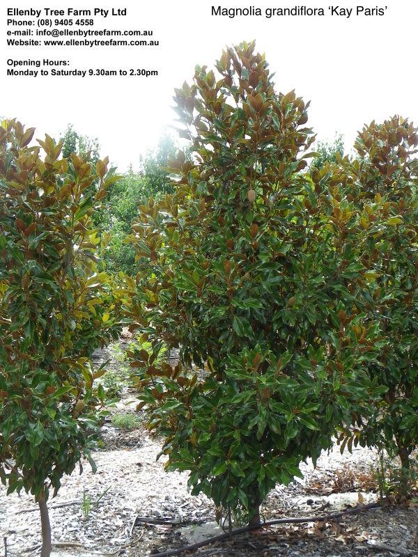 Magnolia Grandiflora Kay Parris Ellenby Tree Farm Magnolia Grandiflora Magnolia Plants