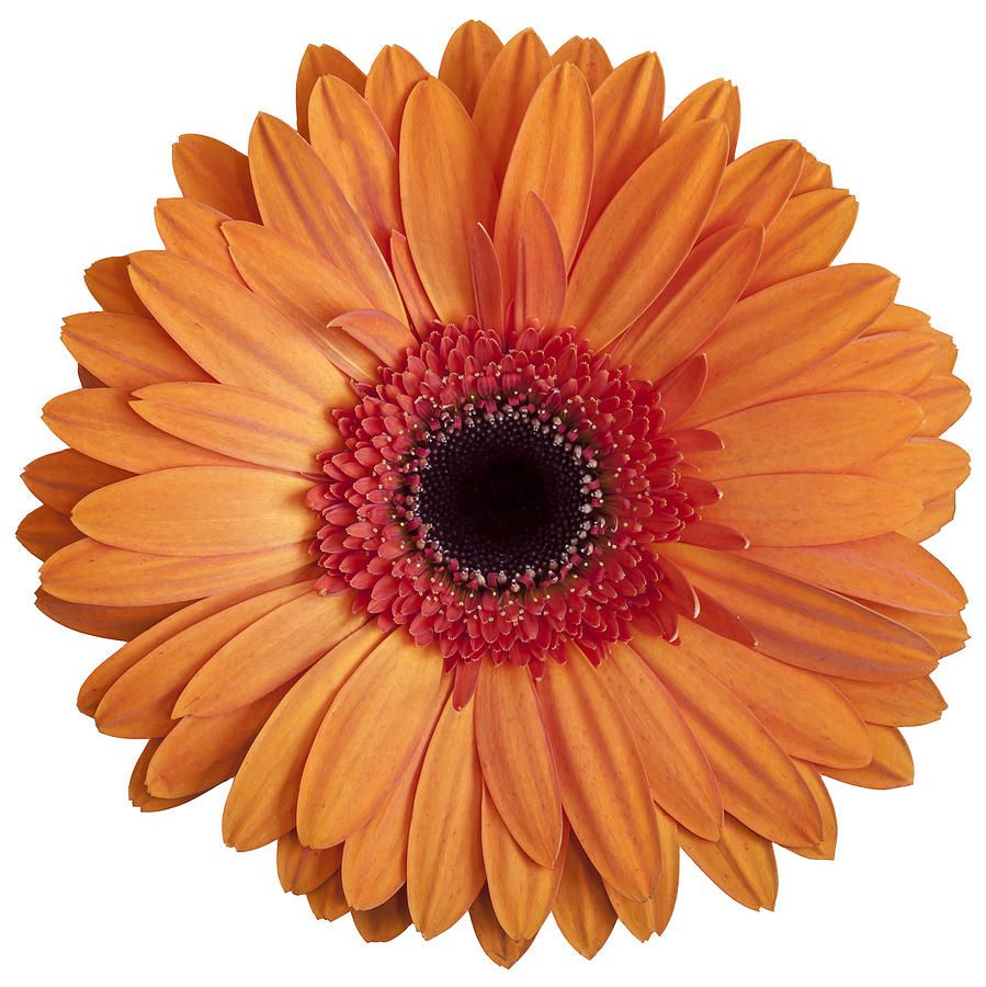 gerbera daisy google search orange pinterest gerbera and weddings. Black Bedroom Furniture Sets. Home Design Ideas