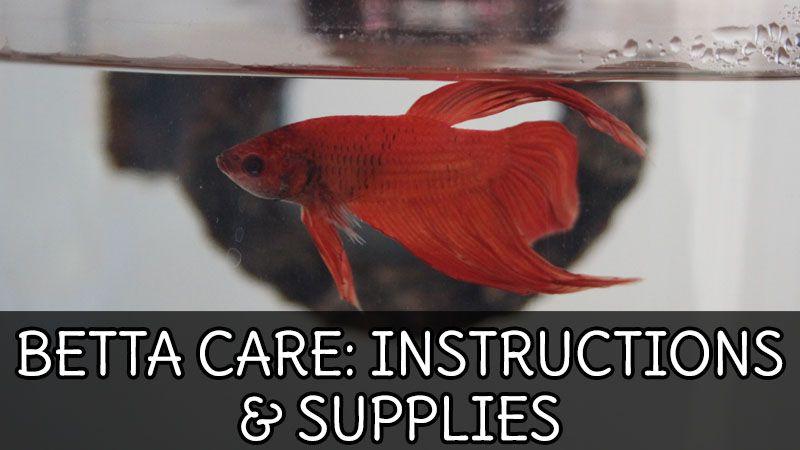 Betta Fish Care Guide Aquarium Setup Supplies Betta Betta Fish Care Easy Pets