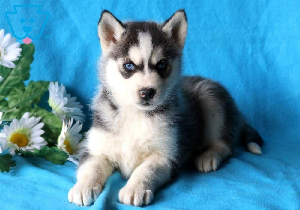 Lex Siberian Husky Puppy For Sale Keystone Puppies