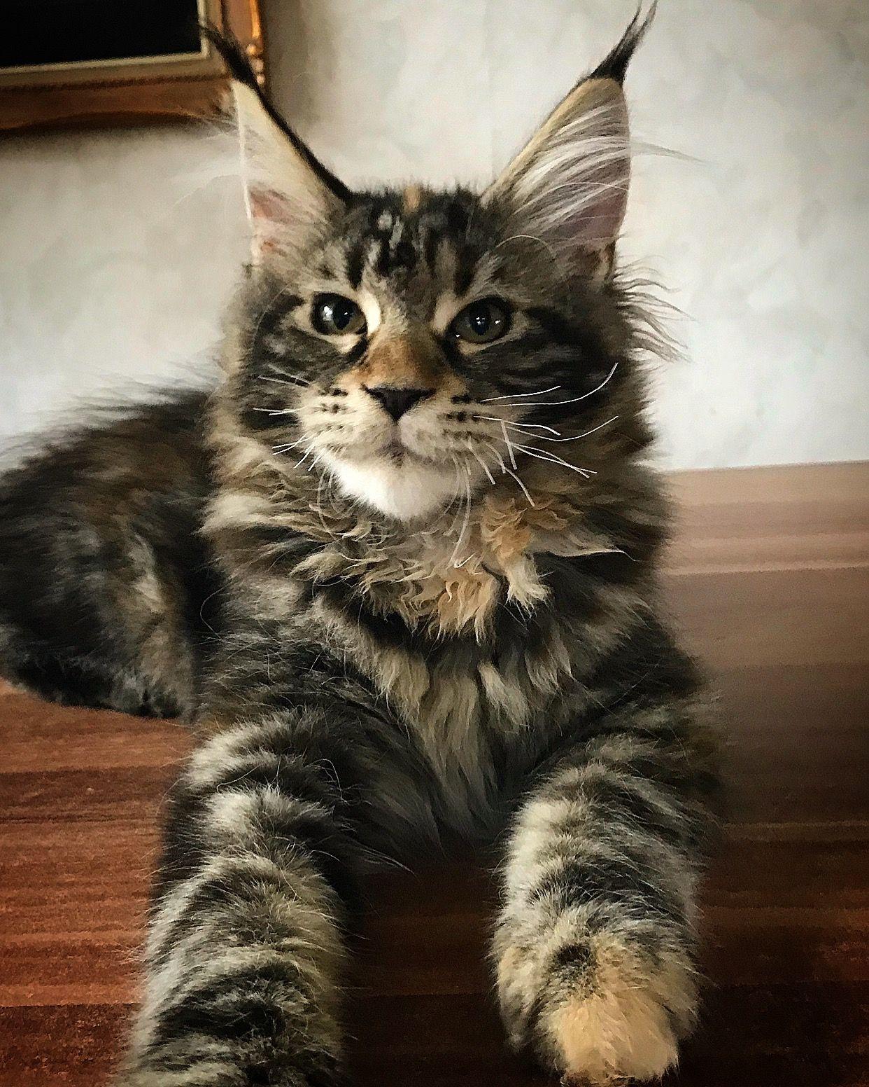 Pin on Maine Coon Kitten