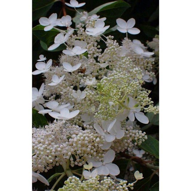 Boy these lacy flowers were stinky. | #atl #atlanta #botanical #gardens #award_gallery #bestsnaps #dslr #flower #georgia #hot_shotz #igmasters #ig_captures #inspired_by #ig_exquisite #ig_professional #incredible_masterpiece #jaw_dropping_shots #marvelshots #master_shots #Nikon #nofilter #organic #pro_ig