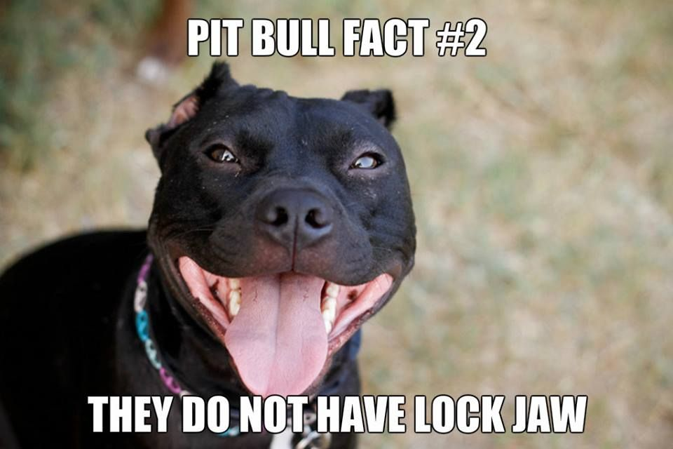 In Fact Rottweiler Have A Stronger Bite Also A Fact Pitbulls