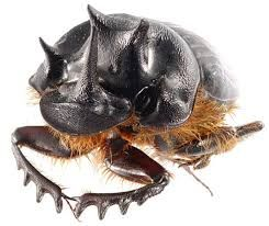 Image result for life cycle of the scarab beetle
