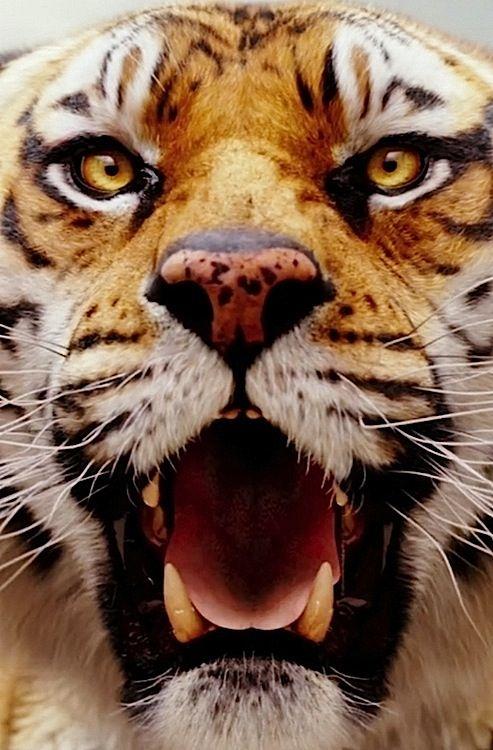 Life of pi richard parker tiger life of pi visual for Life of pi animals