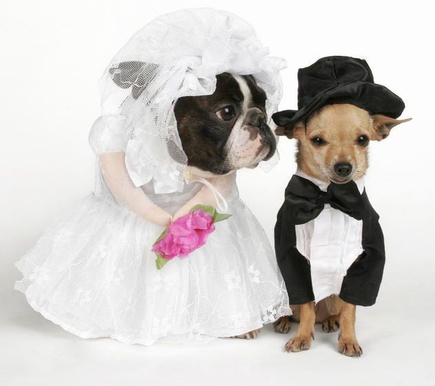 Boston Wedding Dress Dog Wedding Funny Dog Pictures Cute Animals