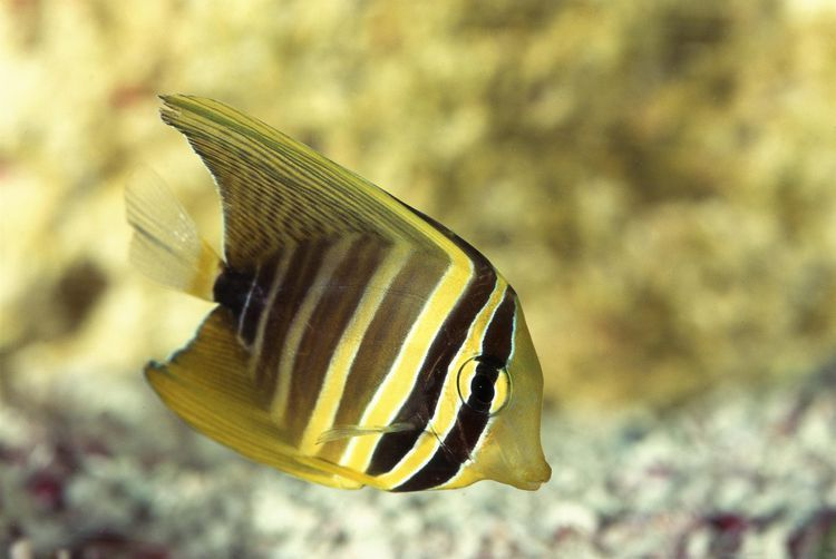 Sailfin Tangs Are Known From Reefs In Oceania The South Pacific And The Indian Ocean As Popular Marine Aquariu Marine Aquarium Fish Marine Aquarium Tang Fish