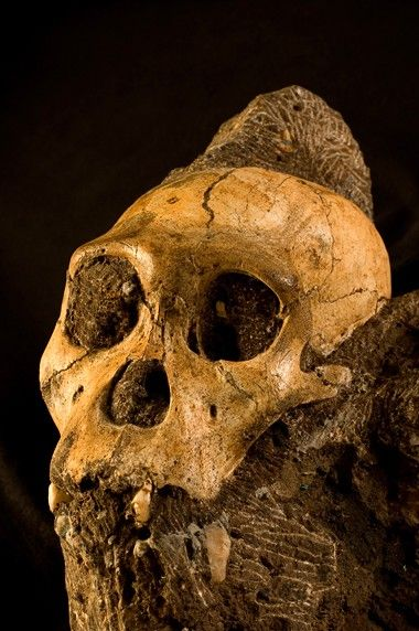Australopithecus sediba lived in Africa 1.9 million years ago, a hominid that made tools and walked like a modern human.