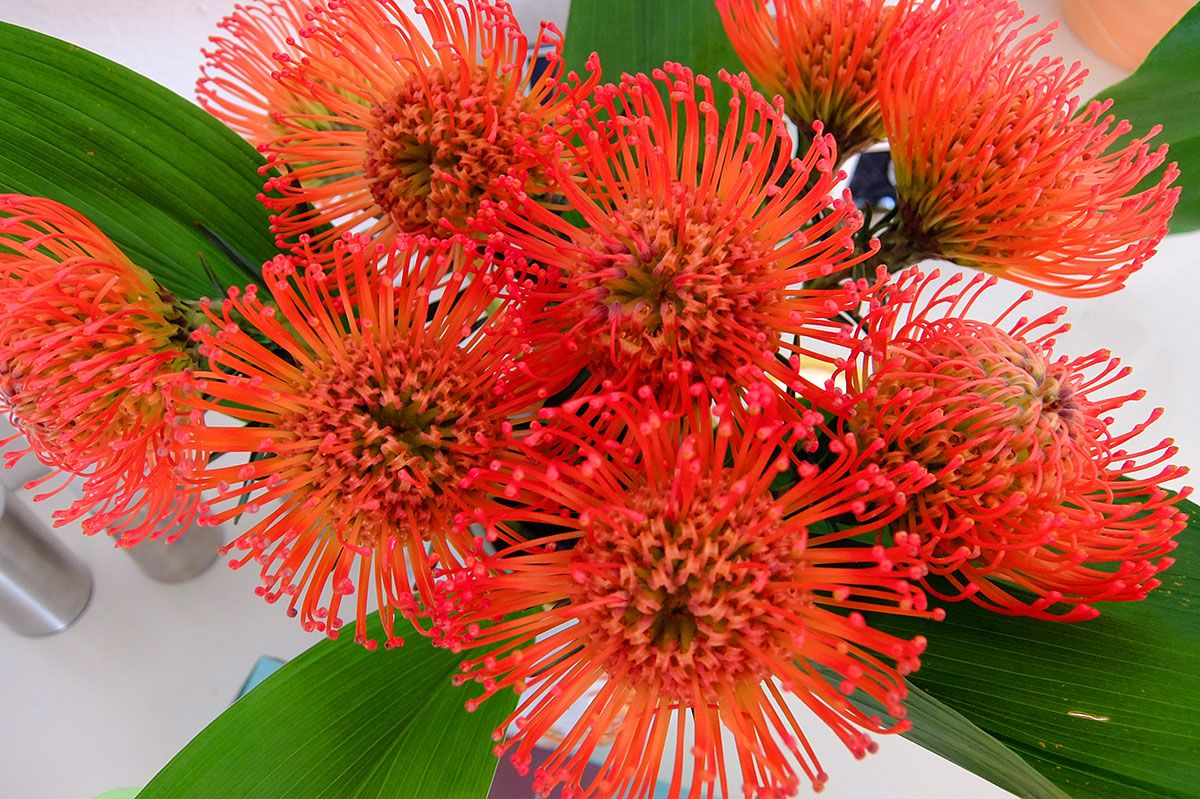 Nadelkissenblume (Leucospermum), rote Blume
