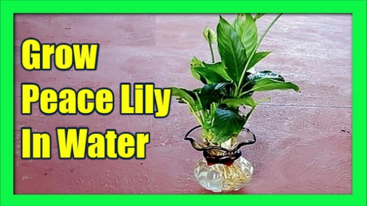 How To Multiply Peace Lily Fast Propagating Peace Lily The Easy Way Youtube Peace Lily Peace Lily Plant Lily Plants