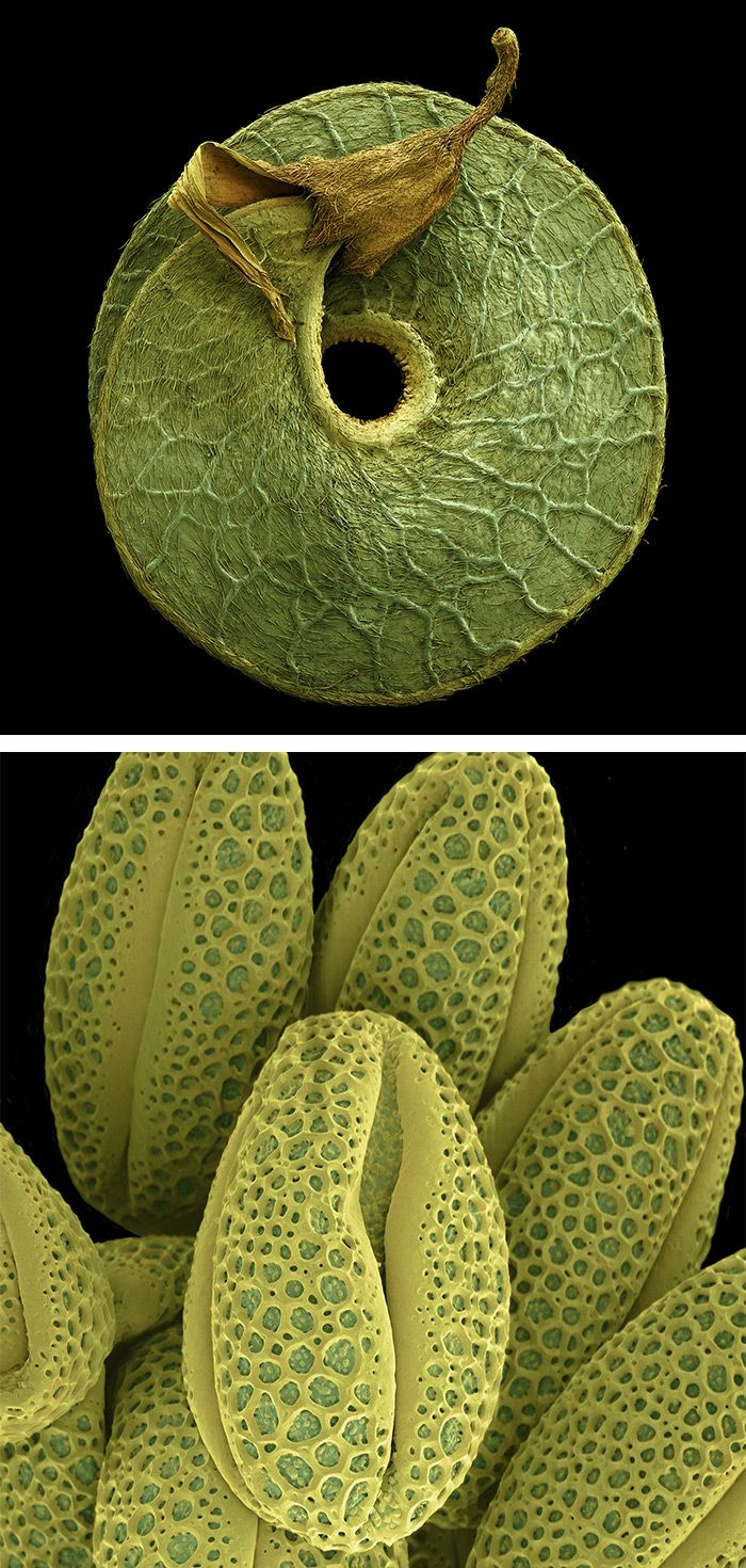 Colored Micrographs Magnify Pollen Seeds, Plant Cells, and ...