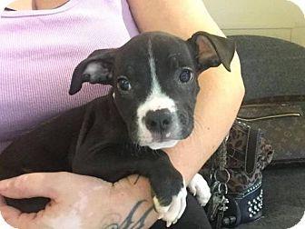 Phoenix Az Boston Terrier Staffordshire Bull Terrier Mix Meet Timone A Pets Bull Terrier Mix Terrier Mix