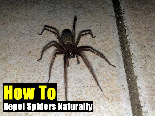 how to repel spiders naturally edc survival spider common rh pinterest com